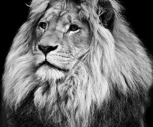 animals, dangerous, and lion image