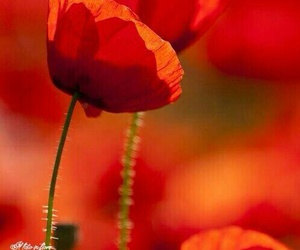 red, flowers, and poppy image