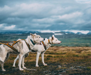 dog, dog sled, and husky image