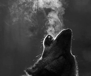 b&w and wolf image