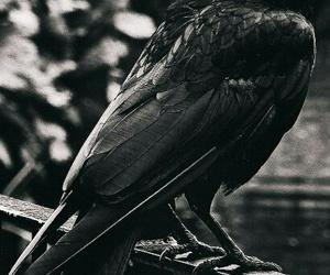 raven, crow, and bird image
