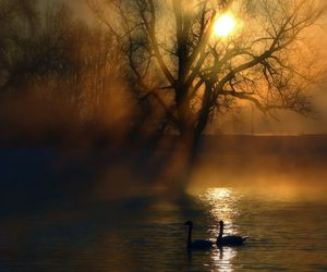 mist, swans, and morning image