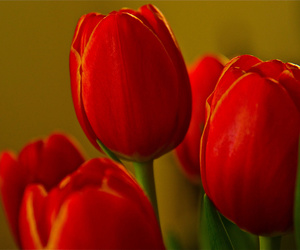 bokeh, flower, and red image