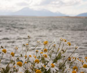 flowers, daisy, and sea image