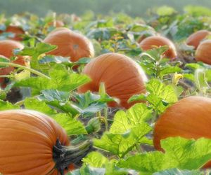 autumn, pumpkin patch, and fall image