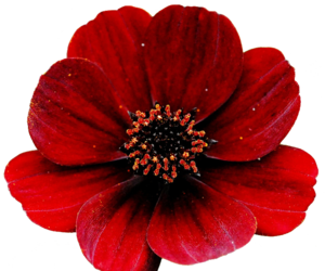 flowers, red, and transparent image