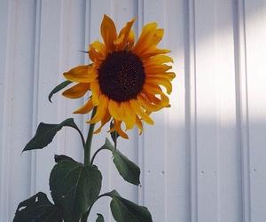 sunflower, flowers, and beautiful image