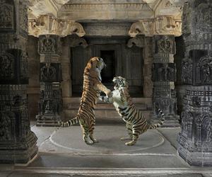 tigers image