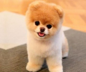 adorable, cute dog, and boo the dog image