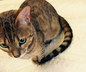 bengal, cat, and chat image