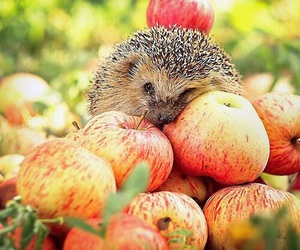 apple, animal, and hedgehog image