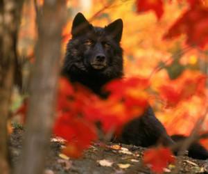 animal, wolf, and wild image