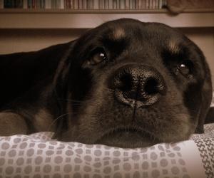 dog, rottweiler, and my dog image