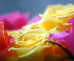 colors, dewdrops, and roses image
