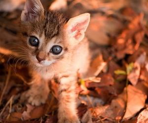 cat, autumn, and kitten image