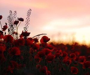 flower, romantic, and poppies image