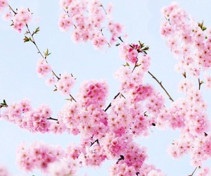 background, cherry blossom, and flowers image