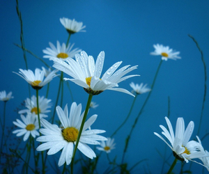 flowers, blue, and daisy image