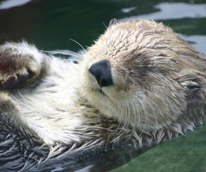 floating, otter, and sleeping image