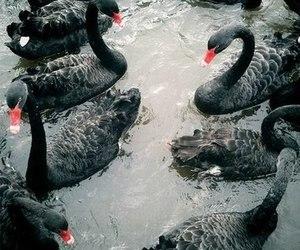Swan, black, and black swan image