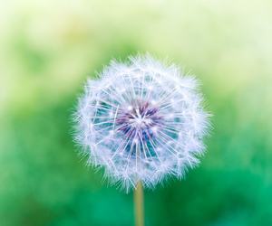 flowers, dandelion, and wish image
