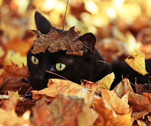 autumn, cats, and leaves image