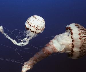 animals, blue, and jellyfish image