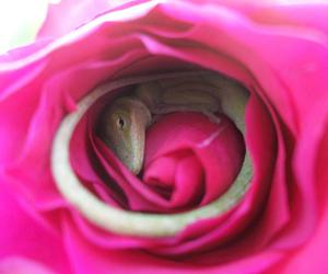 lizard, rose, and lovely image
