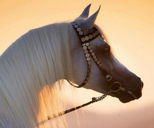 horse and arabian image
