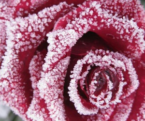 beautiful, rose, and snow image