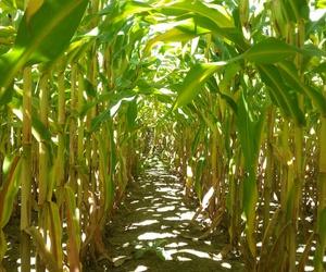corn, fall, and farm image