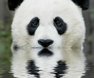 panda, animal, and water image