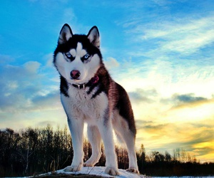 husky, animal, and dog image