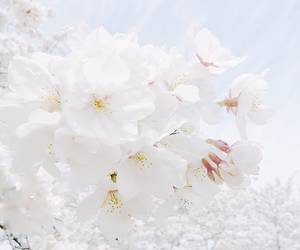 cherry blossom, flower, and white image