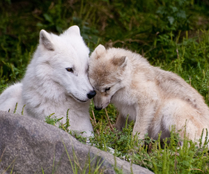 wolf, animals, and cute image