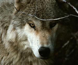 wolf, animal, and photography image