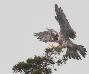 nikon, peregrine falcon, and falco peregrinus image