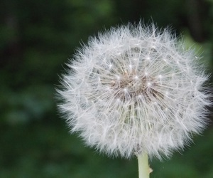 dandelion, green, and nature image
