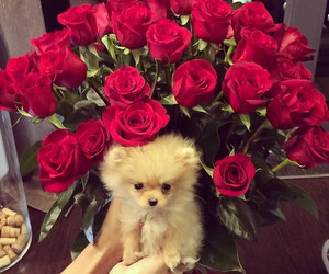 dog, red, and rose image