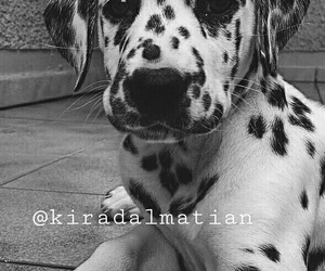 baby, dalmatian, and puppy image