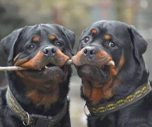 cute animals, dogs, and rotweiler image