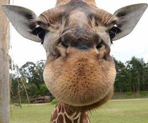 animal, face, and giraffe image