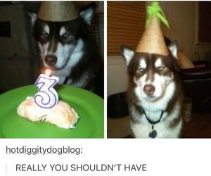 husky dog, tumblr post funny, and celebrating birthday image