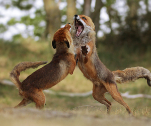 fox, foxes, and ginger image