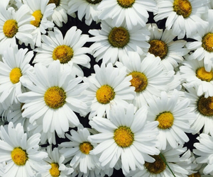 flowers, daisies, and wallpaper image