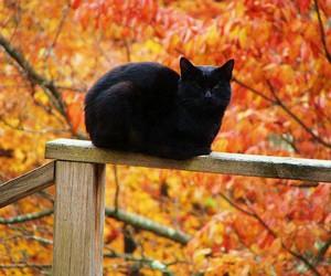 autumn, cat, and black cat image