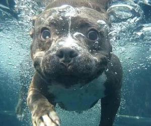 pitbull, cucciolo, and amore per i cani image