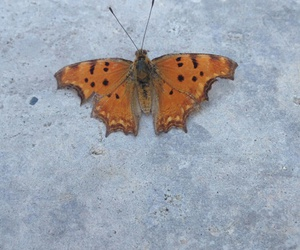 beautiful, butterfly, and albania image