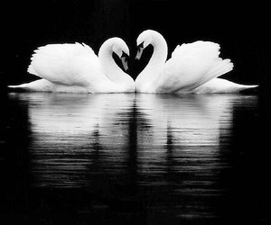 Swan, animal, and black and white image