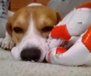 beagle, football player, and pet image